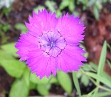 dianthus amurensis 'siberian blues'.jpg