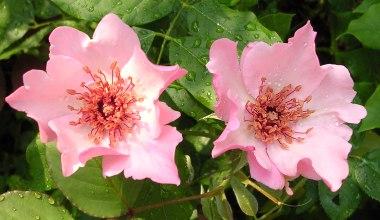 rose-Dainty Bess