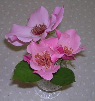 rose-Dainty Bess3.JPG